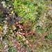 Small photo of Abelia 'Kaleidoscope'