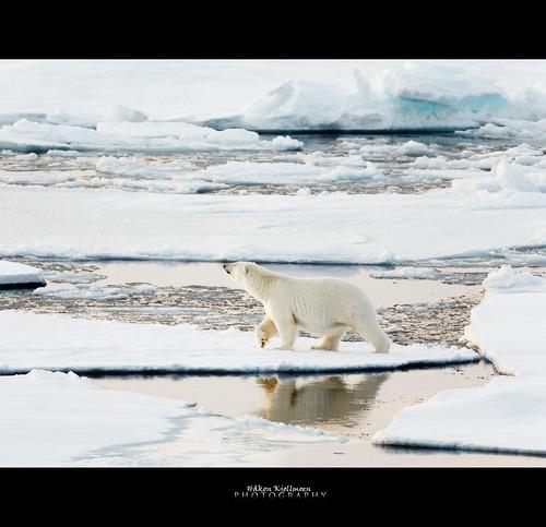 ice canon polarbear isbjørn naturesfinest supershot impressedbeauty natureselegantshots fotocompetition fotocompetitionbronze 5dmkii 600mm4l coth5 mygearandme
