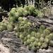 Cluster of cacti; cerca de Mariscala de Júarez, Oaxaca, Mexico por Lon&Queta