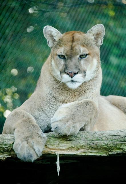serious cougar