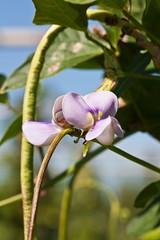 Yard long bean (Vigna unguiculata subsp. sesquiped…