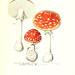 Iconographie des champignons de Paulet