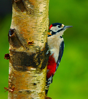 Great Spotted Woodpecker (Explored)
