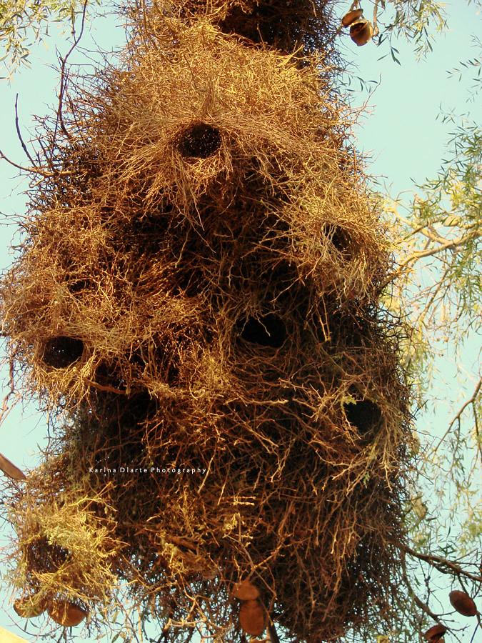 Communal Nest / Monk Parakeet