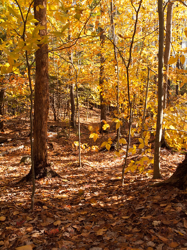 autumn trees fall nature yellow forest landscape woods path nh foliage trail beech