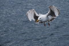 Sea Gulls - Salen Pier - 4
