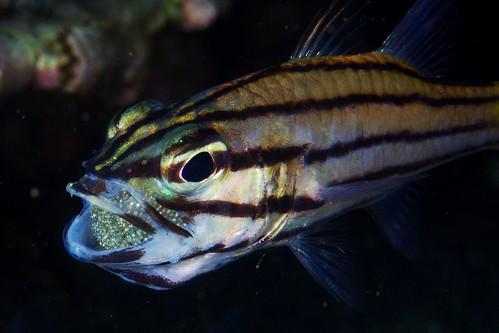 Cardinalfish & Mouthfull of Eggs