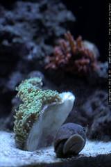 hammer coral    MG 1969