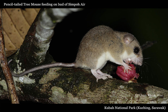 005Pencil-tailed Tree Mouse feeding on Simpoh Air bud