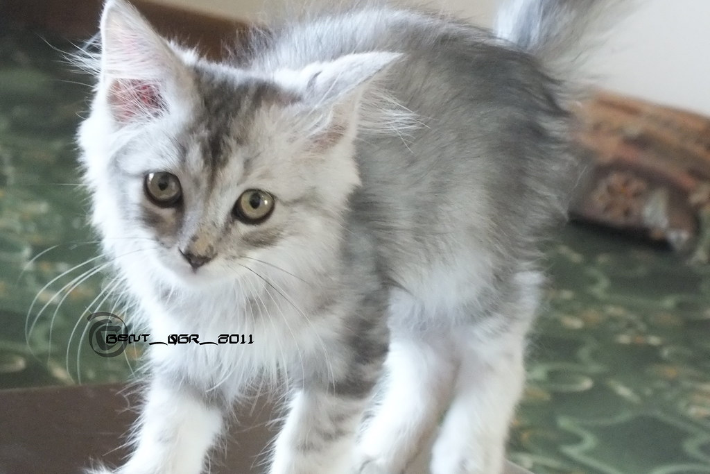 My Cat   Taken by:me ،،، without edit ،،، model : My Cat ماش