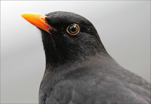 Handsome Blackbird