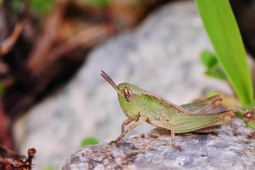 台灣稻蝗(若蟲) Oxya chinesis