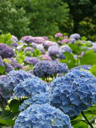 periwinkle blue hydrangea wholesale cut flowers