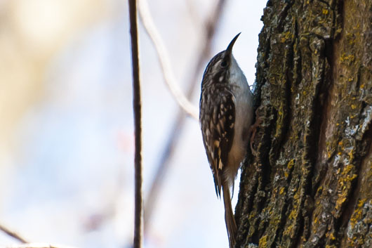 brown creeper 5