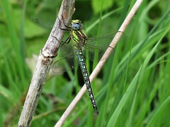 Male Hairy Dragonfly at Broomfleet - 12/05/2011