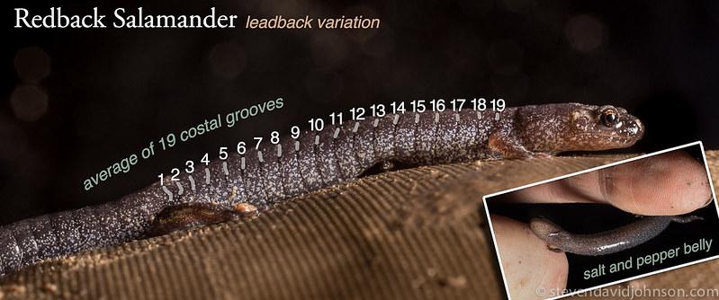 Redback salamander diagram