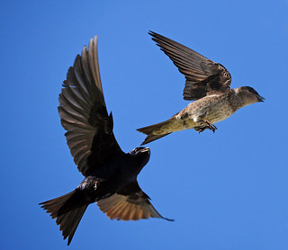 Blue Sky, Purple Martins