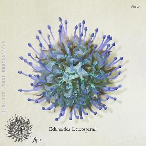 Echinoidea Leucospernii by alison lyons photography