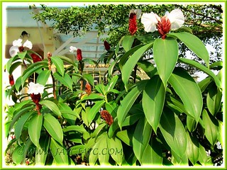 Clump of flowering Crepe/Spiral Ginger (Cheilocostus speciosus, previously known as Costus speciosus)