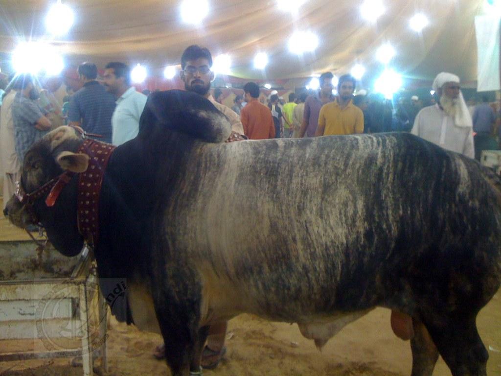 Cow Mandi 2011