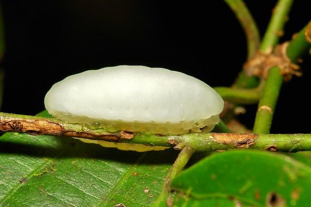 "Gelatine Slug Caterpillar (Cup Moth, Limacodidae) ""Jelly Bean"""