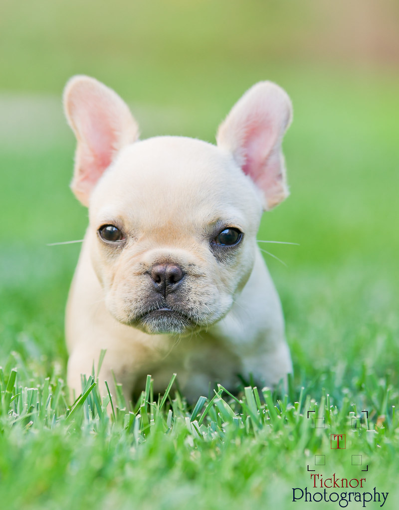 French Bulldog Puppies For Sale In Ohio French Bulldog Puppies For