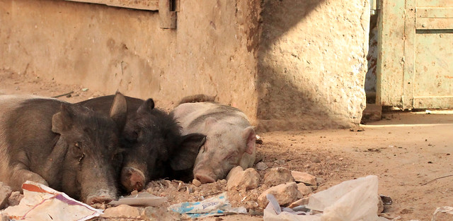 Jaipur pigs