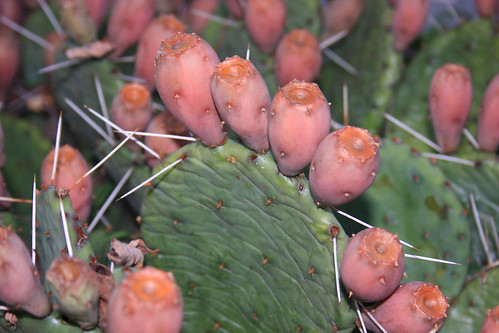 Eastern Prickly Pear Cactus (Opuntia humifusa)