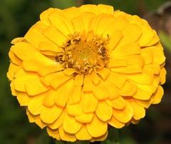 Yellow zinia.