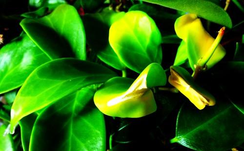 Hoya obscura 'White Form'