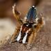 _MG_9731 peacock spider Maratus linnaei by Jurgen Otto