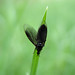 Small photo of Crn zuzek / Black wings on green