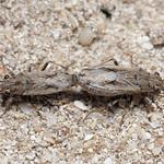 szőrös fényesbodobács - Ortholomus punctipennis