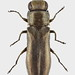 Small photo of Agrilus