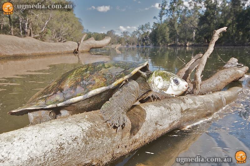 Irwin's turtle (Elseya irwini)