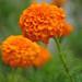 Marigold (Khakibush) by faungg's photos