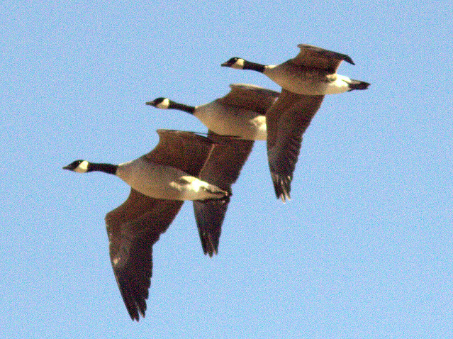 Canada Geese 20111110