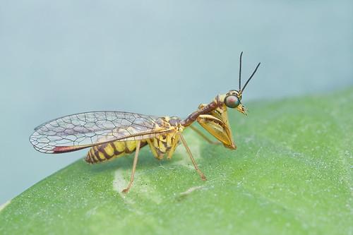 mantisfly mantispidae IMG_7626 copy