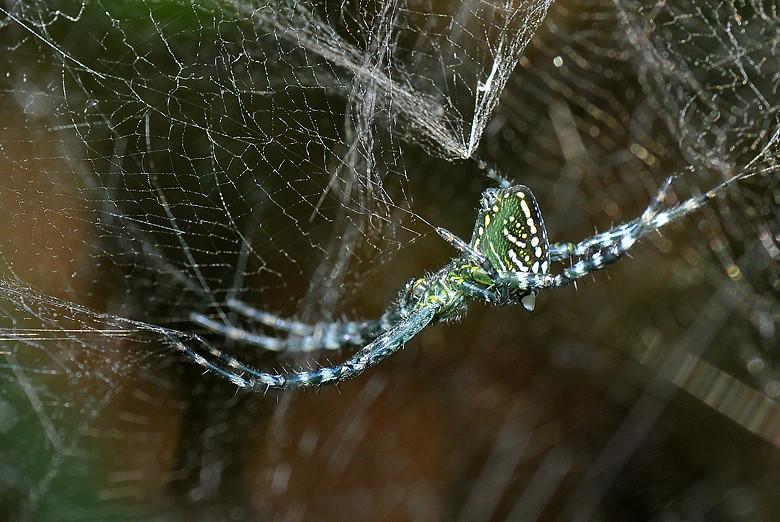 蜘蛛9147