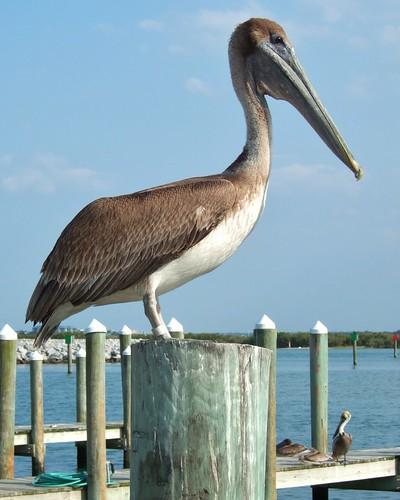 Ponce de Leon Inlet - Pelican by DougRobertson