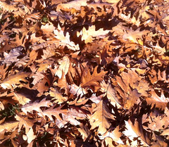Oak Leaves (Posterized Photo) by randubnick