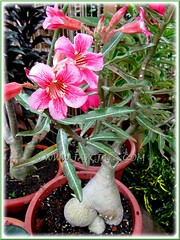 Adenium obesum with lovely double-tone flowers
