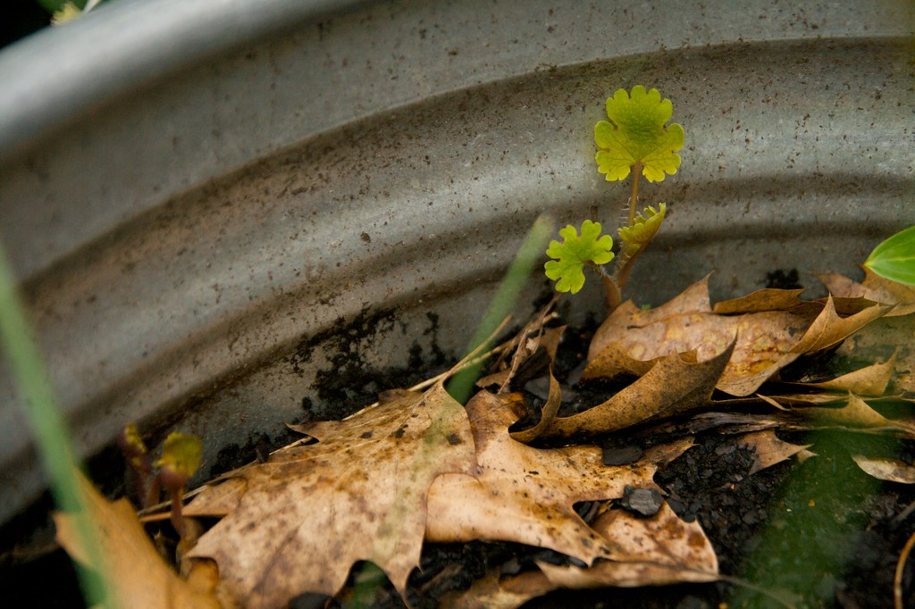 macleaya sprout 2  1387