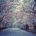 Cherry Blossoms - Spring - Central Park - New York City