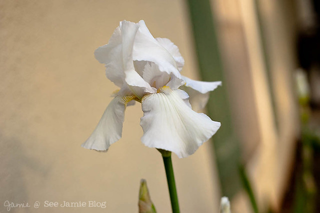 White Bearded Iris