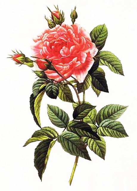 PinkRoseBotanical