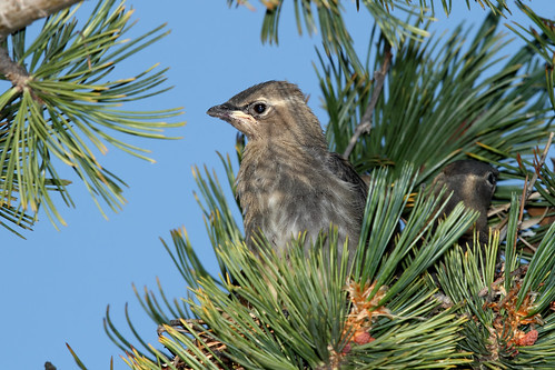 Young Cedar waxwing in nest.