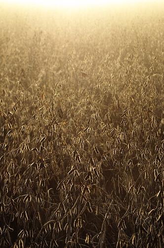 morning field fog sunrise early glow pentax sunday sigma soybean f28 soybeans sliders kx hss 3570mm sliderssunday