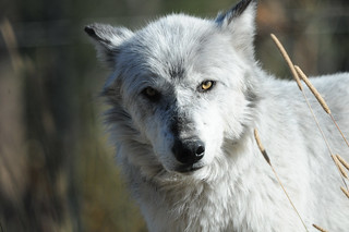 A light grey wolf staring directly into the camera