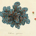 Lichenes Americani